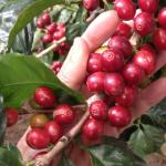 Los amantes del café tienen una cita en Frailes este fin de semana