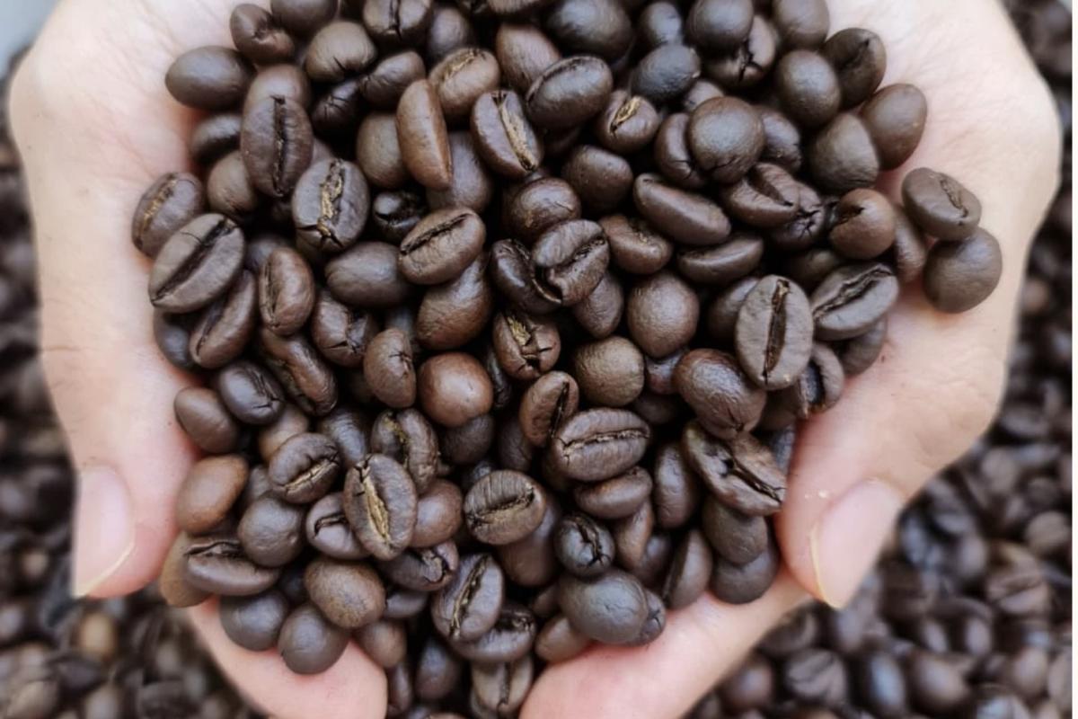 Siembra de café Robusta generaría 2000 empleos en Costa Rica